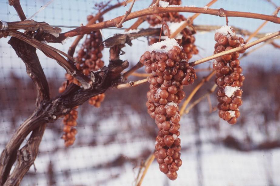 Le vin de glace s'obtient par cryogénisation naturelle,... (PHOTO ARCHIVES LA PRESSE CANADIENNE)