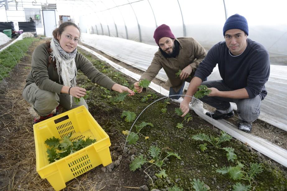 Amira Fortin, Olivier Tremblay et Mikael Block ont procédé cette semaine à leur cinquième récolte de salades et de choux kale produits dans des conditions hivernales. (Photo Le Progrès-Dimanche, Jeannot Lévesque)