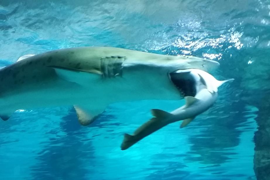 Un requin taureau de 2,2 mètres de long... (Photo AFP)