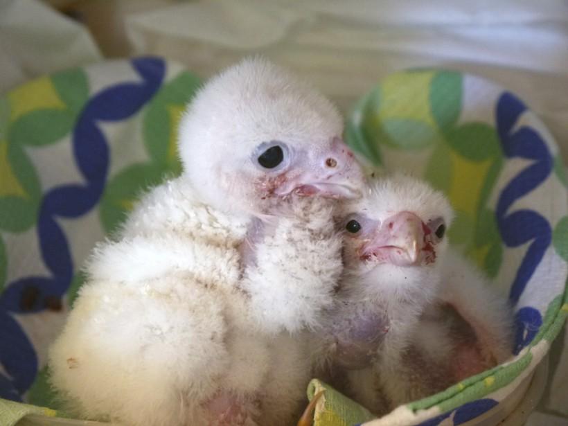 Des deux oeufs qui ont éclos, un seul de ces deux poussins a survécu. (Photo Service de protection des animaux chiliens)