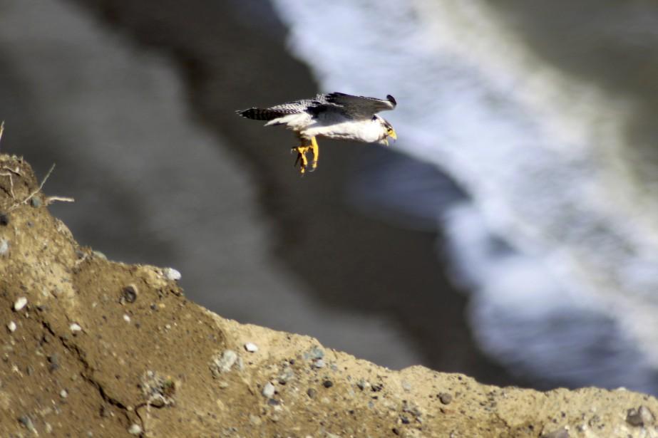 Après le départ des alpinistes,la mère est revenue au nid, a alimenté le poussin et l'a entouré de ses ailes, ce qui indique qu'il avait été accepté. Fin janvier, les scientifiques continuent de garder l'oeil sur le petit pour encore quelques semaines. Surnommés les «guépards du ciel», ces oiseaux foncent sur leurs proies en piqué et peuvent atteindre 385 km/h.<em><strong>AFP</strong></em> (Photo Service de protection des animaux chiliens)