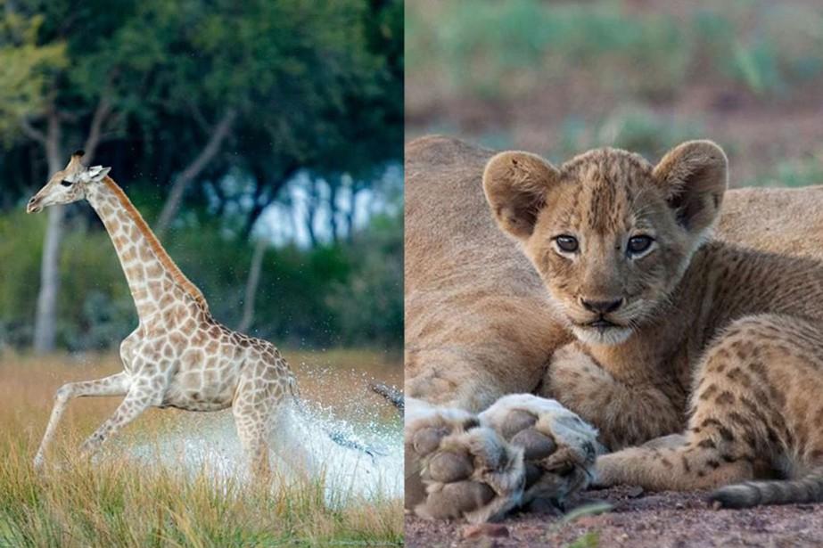 Un safari africain est... (PHOTOS TIRÉES DU COMPTE INSTAGRAM DE MARLON DU TOIT)