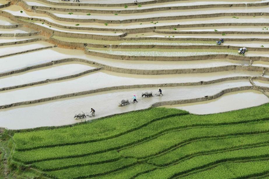 La culture intensive du riz, dans ce pays... (PHOTO TUAN DC, ARCHIVES REUTERS)