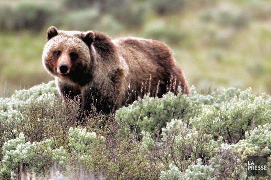 Parc national de Yellowstone... (Photo d'archives AP)