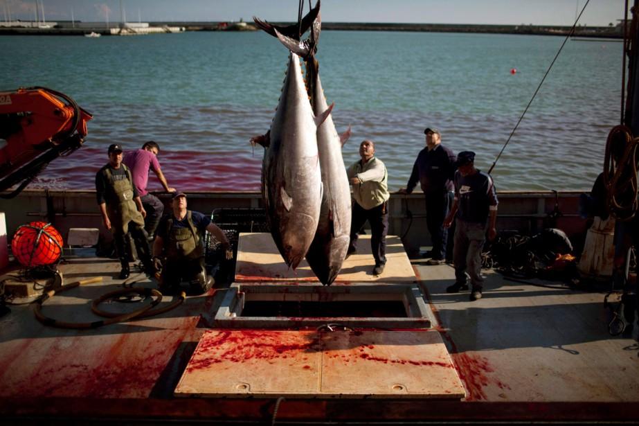 Un seul thon rouge peut pondre des millions... (PHOTO EMILIO MORENATTI, ARCHIVES AP)