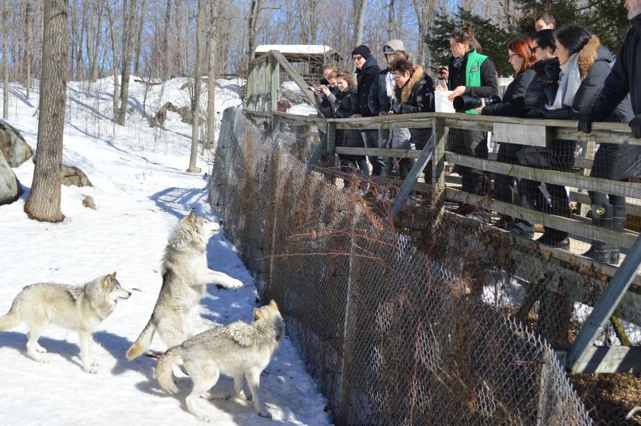 Des animations saisonnières ont lieu tous les jours au Parc Oméga. On peut voir ici des visiteurs qui en apprennent davantage sur les caractéristiques des loups gris, bien connus aussi sous l'appellation de «loups des bois». (Benoit Sabourin, LeDroit)
