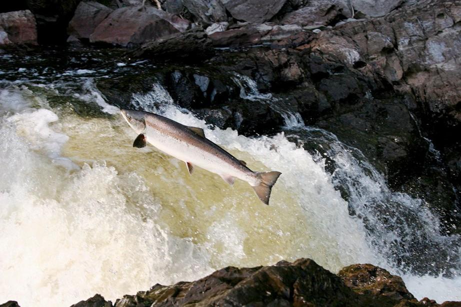 Un saumon atlantique... (Fournie par la CGRMP)