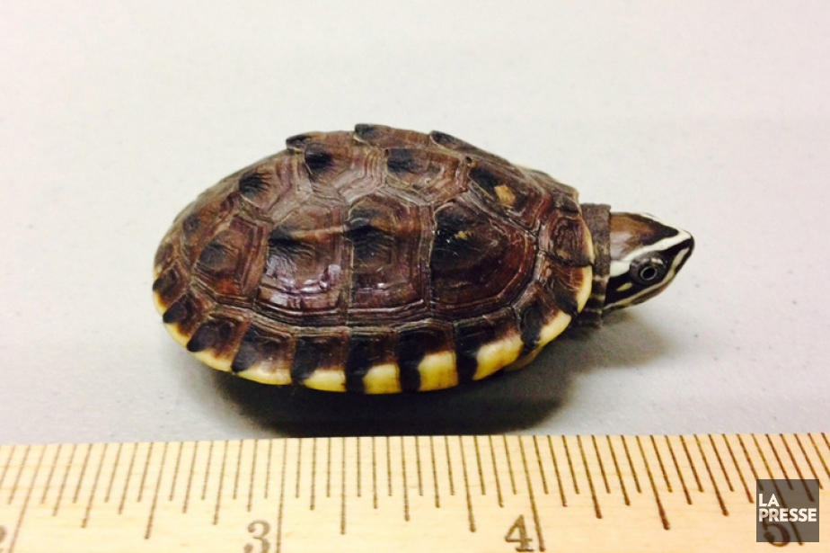 Selon les autorités, la valeur des tortues qui... (PHOTO AP)