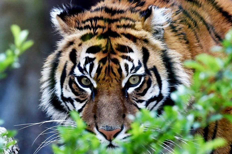 Un tigre de Malaisie, espèce menacée, a tué vendredi une... (Photo archives AFP)