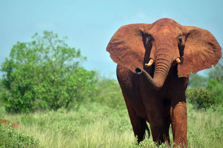 Plus de 12000 éléphants vivent dans le Tsavo.... (PHOTO TONY KARUMBA, ARCHIVES AFP)