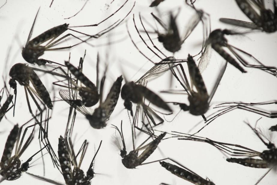 L'aedes aegypti - le moustique de la fièvre... (PHOTO FELIPE DANA, ARCHIVES AP)