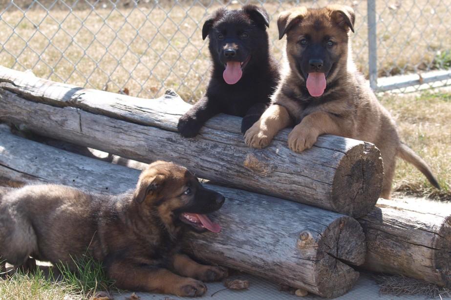 Jake, Jolt et Jinx, trois des nouveaux chiens... (PHOTO GRC, VIA LA PRESSE CANADIENNE)