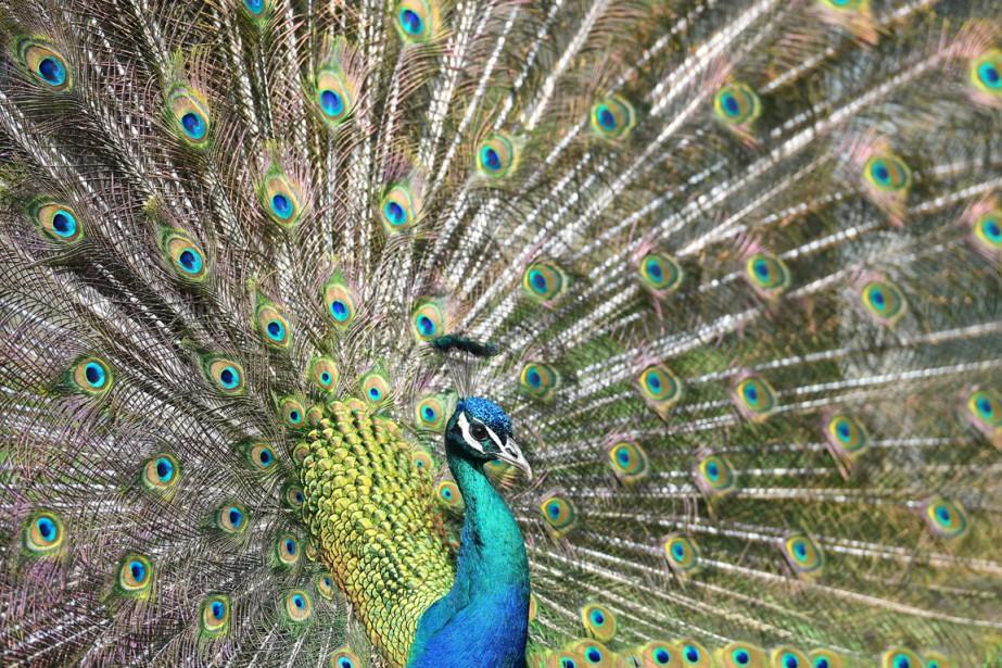 Pendant la saison de reproduction, le paon fait... (PHOTO AP)