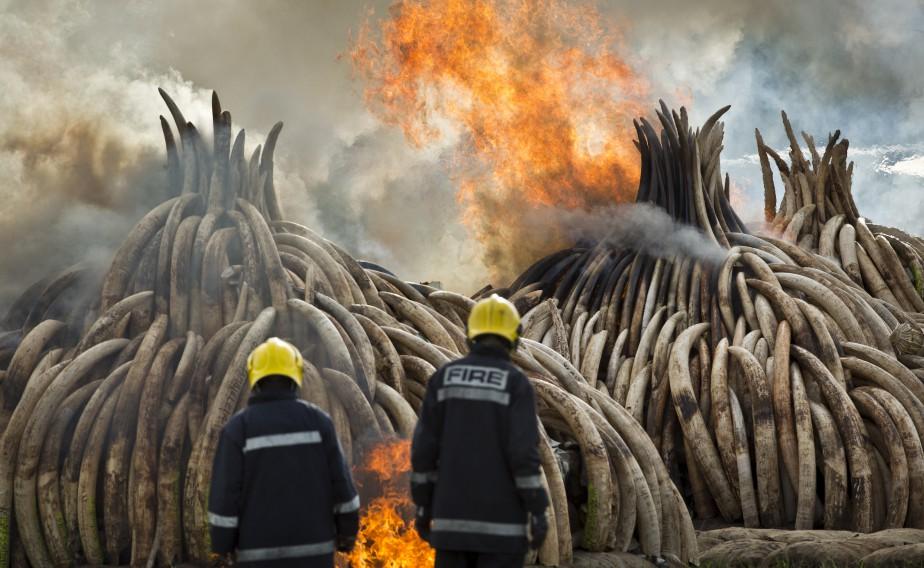 Au total, 10pyramides d'ivoire et une pile de cornes de rhinocéros ont été mises à feu. (AP, Ben Curtis)