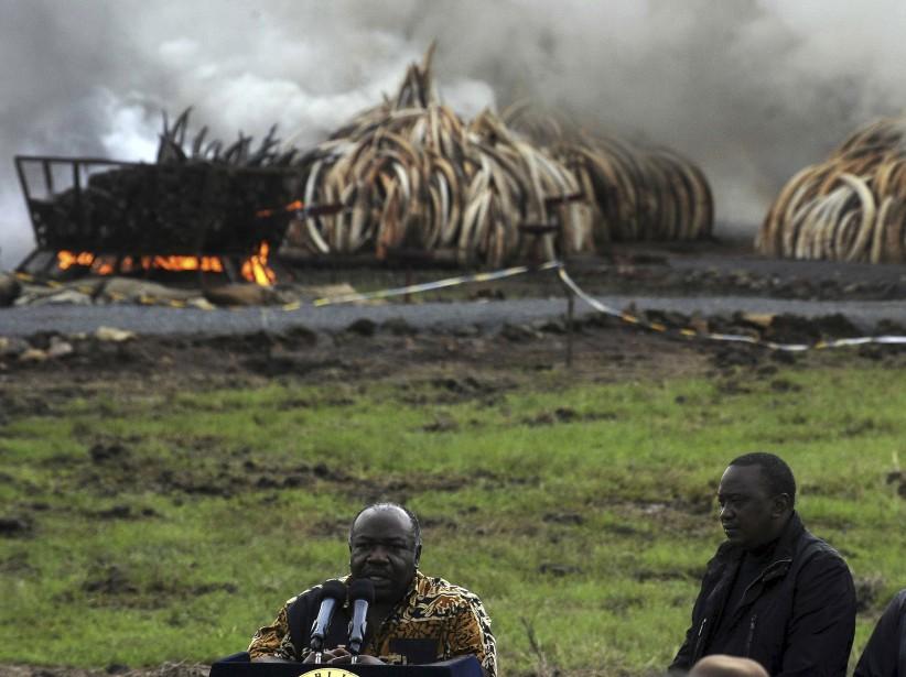 Face aux caméras du monde entier, le président Kenyatta (gauche) et son homologue gabonais, Ali Bongo Ondimba, dont le pays abrite plus de la moitié des éléphants de forêt en Afrique, ont inséré chacun une torche dans une des pyramides constituées de défenses d'éléphants empilées verticalement sur plus de trois mètres de haut. (AFP, Tony Karumba)