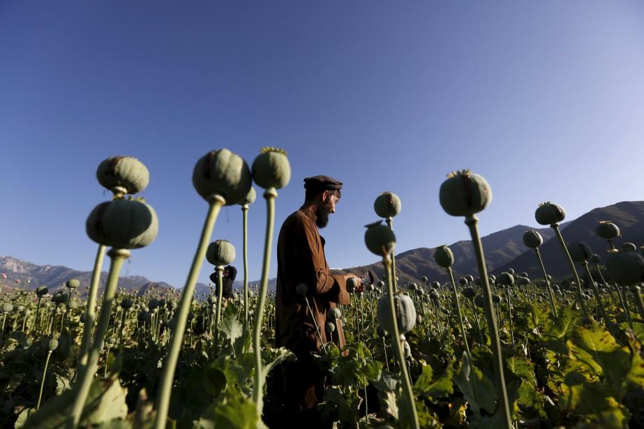 La bonne récolte de pavot a eu pour... (PHOTO ARCHIVES REUTERS)
