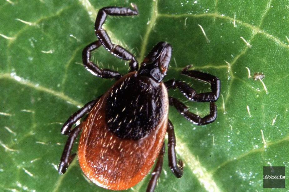 Le nombre de cas de maladie de Lyme... (PHOTO ARCHIVES LA VOIX DE L'EST)