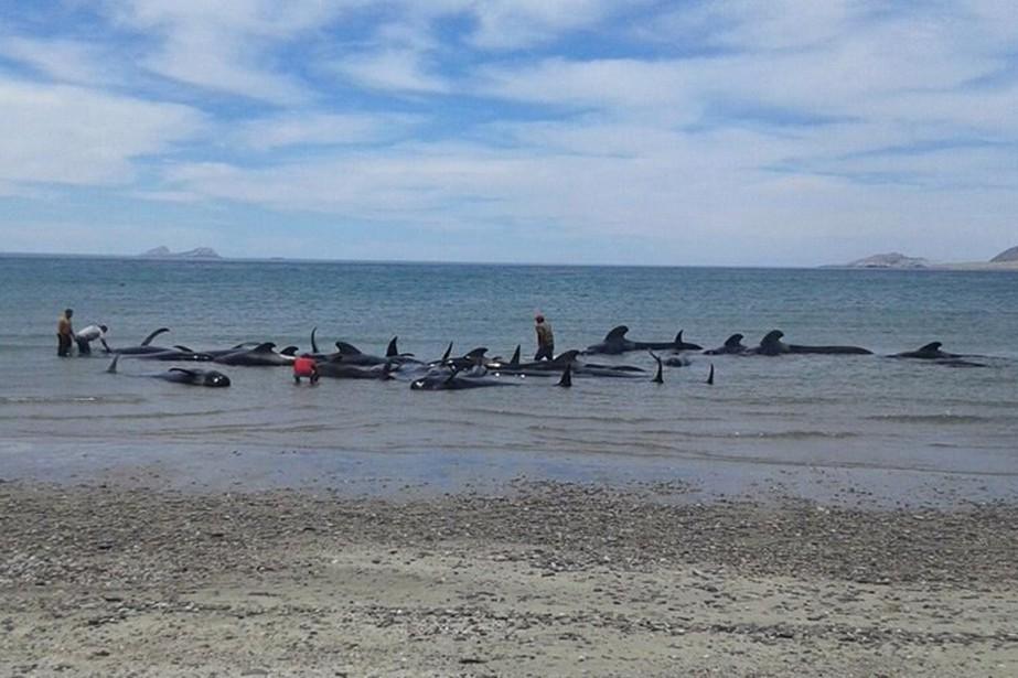 Les baleines-pilotes appartiennent à la famille des globicéphales... (Photo AP)