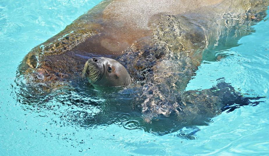 Le bébé morse de trois semaines a nagé avec sa mère, la femelle Arnaliaq, sous le regard de plusieurs curieux. (Le Soleil, Pascal Ratthé)