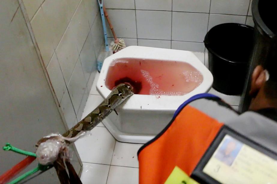 Le python de trois mètres de long avait... (Photo AP)