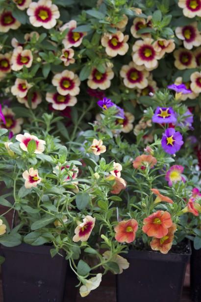 Arrangement de différentes variétés de Calibrachoa. (Mélissa Bradette)
