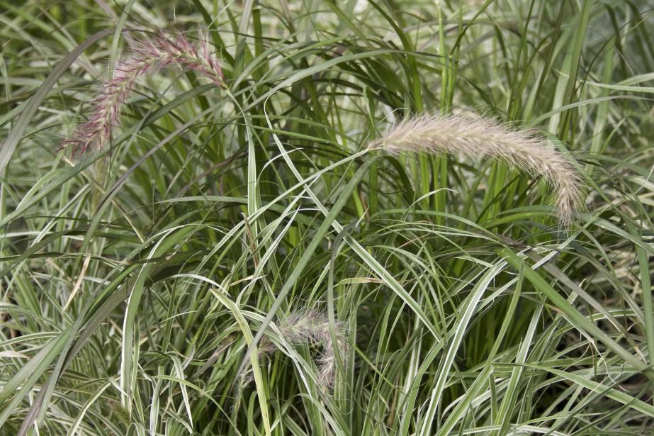Le Pennisetum est une belle graminée annuelle qui se décline dans un grand choix de variétés et de couleurs. (Mélissa Bradette)