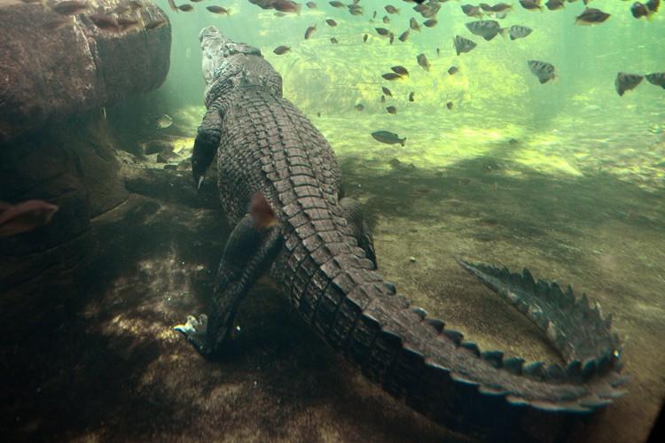 Chaque année, les crocodiles tuent en moyenne deux... (PHOTO AFP)