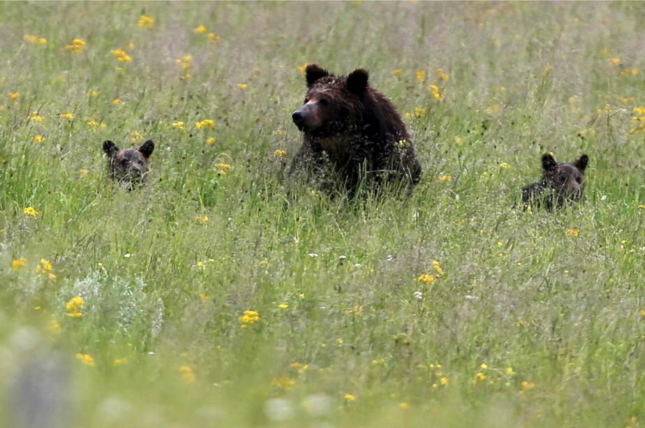 Un ourson grizzly s'est prêté à une manoeuvre... (Photo archives Reuters)