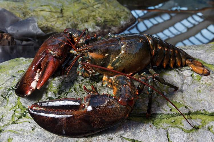 Quelques homards nord-américains échappés dans les eaux... (ARCHIVES PC)