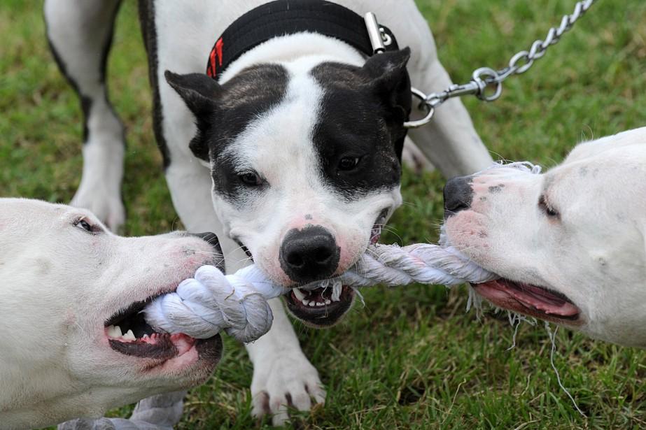 Des pitbulls tiraillent un bout de corde.... (PHOTO MICHAL CIZEK, ARCHIVES AFP)