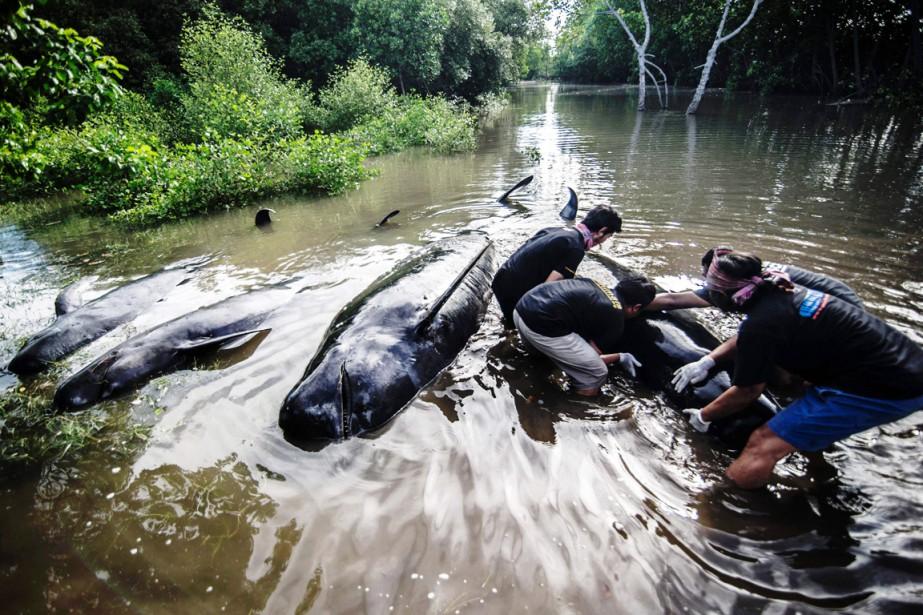 Les baleines se sont retrouvées piégées par l'arrivée... (PHOTO JUNI KRISWANTO, AFP)