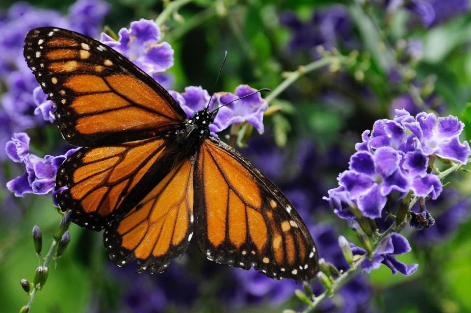 «Le papillon monarque est une des créatures les... (Photo Pat Sullivan, Archives AP)
