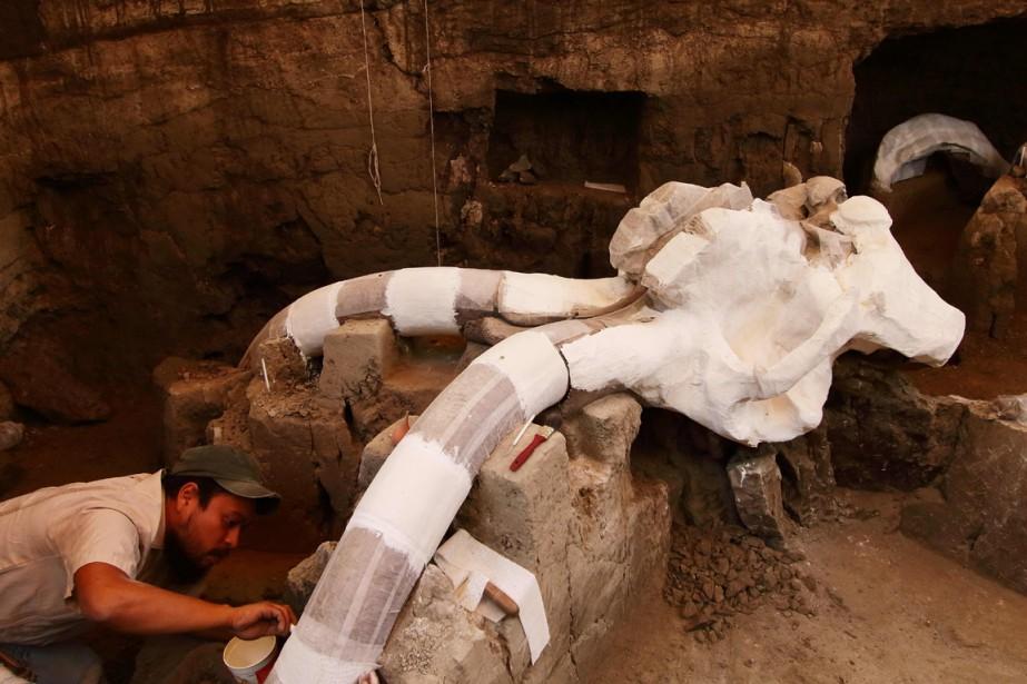Le mammouth de Tultepec, qui mesurait 3,50 mètres... (Photo AFP)