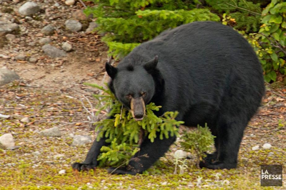 Un ours noir se frotte contre un arbre... (Archives La Presse)
