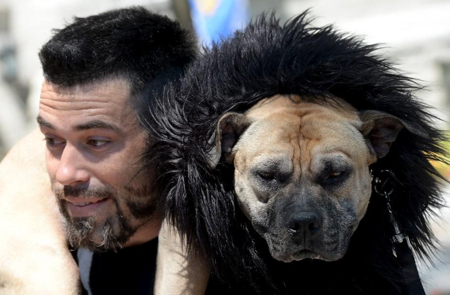 Le coiffeur Patrick «Lakosh» Marceau et son pitbull Malcolm, devenu la mascotte de son salon, était du nombre des manifestants, inquiets de devoir possiblement se départir de leur animal si le règlement était adopté. (Le Soleil, Erick Labbé)