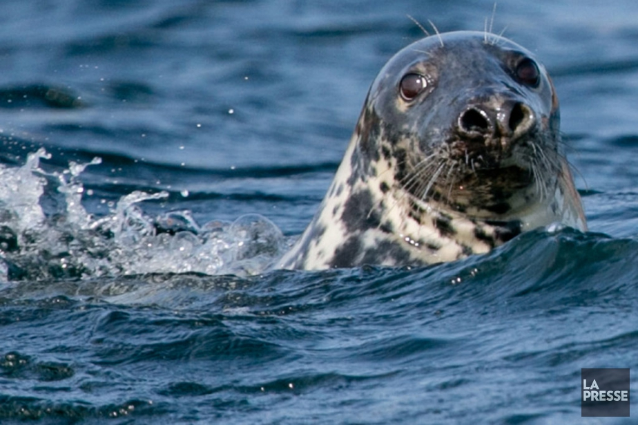 Les phoques sont nombreux dans le... (PHOTO DAVID BOILY, ARCHIVES LA PRESSE)