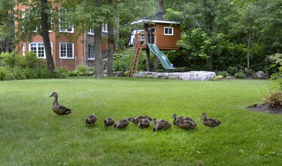 Des canards venus de la rivière, en contrebas, s'aventurent parfois sur la pelouse. (Le Soleil, Jean-Marie Villeneuve)