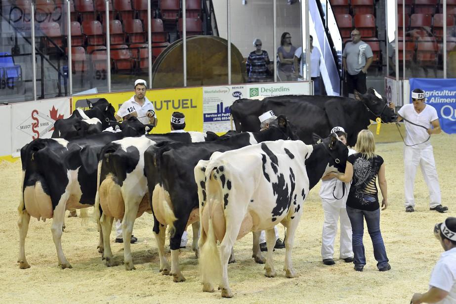 De nombreux éleveurs de la région ont présenté leur vache pour les concours d'animaux qui se déroulaient aujourd'hui. «Il y a plusieurs éleveurs de l'extérieur qui sont venus admirer les bêtes d'ici, alors c'est vraiment plaisant pour les éleveurs de la région», mentionne le directeur général, Louis-Joseph Jean. ()