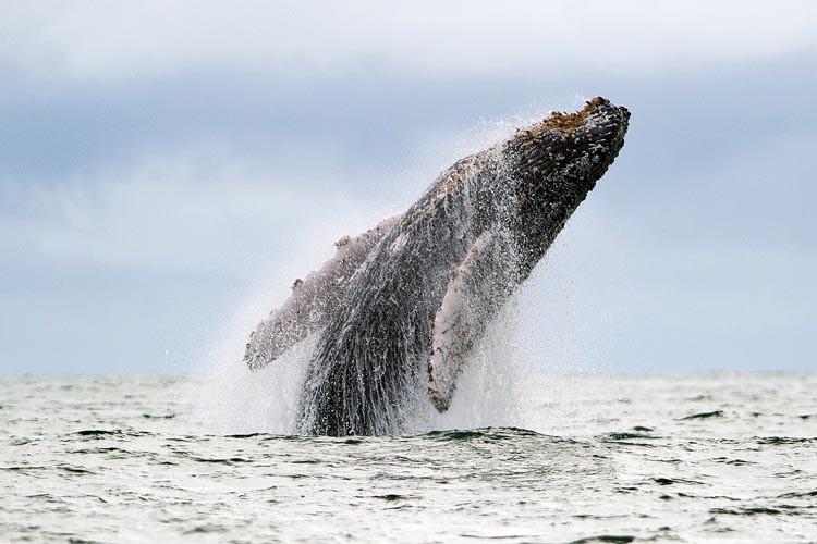 Le moratoire sur la chasse imposé depuis 1982... (PHOTO AFP)