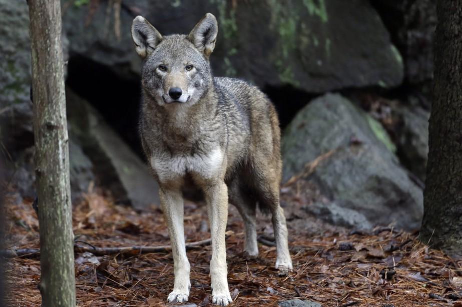 Entre 65 et 68 loups ont été recensés... (photo Gerry Broome, archives AP)