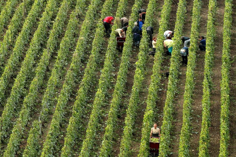 Les viticulteurs bio emploient proportionnellement plus de... (PHOTO AFP)