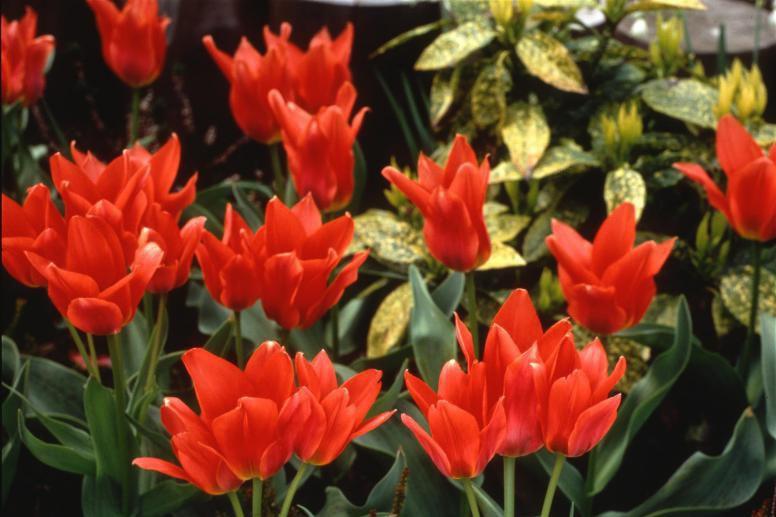 tulipe kenya