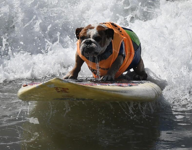 Une soixantaine de chiens affublés de gilets de sauvetage ont chevauché les vagues de la plage californienne de Huntington pourparticiper au Surf City Surf Dog, au profit d'organisations de protection des animaux. (Photo Mark Ralston, AFP)