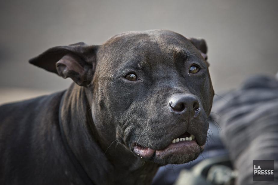 Les propriétaires de pitbull... (PHOTO PATRICK SANFAÇON, ARCHIVES LA PRESSE)
