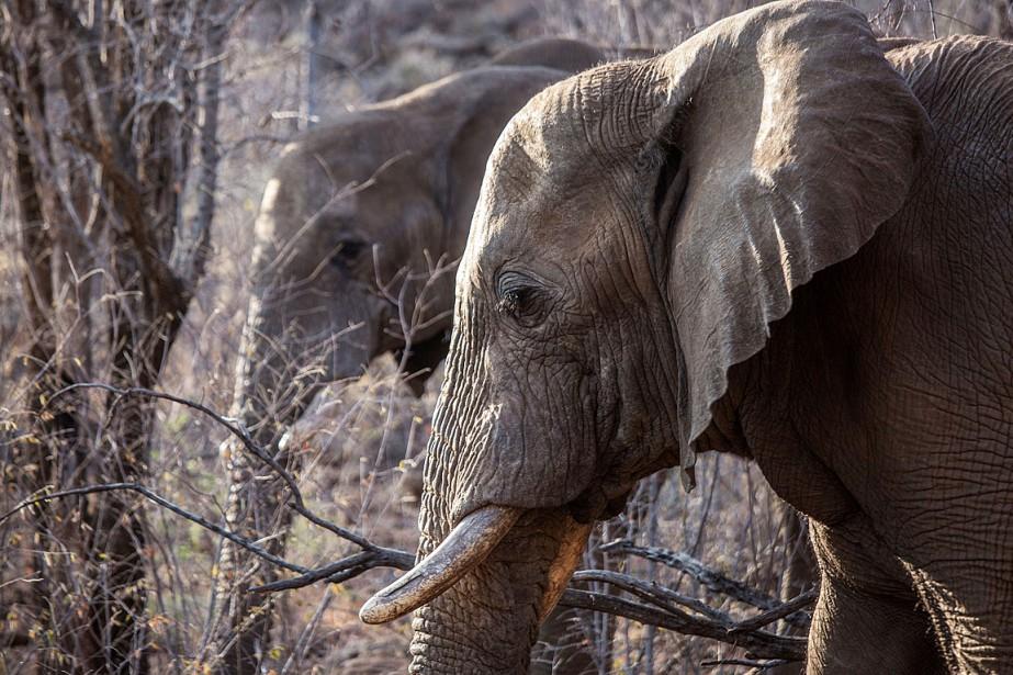 À l'heure actuelle, il reste au total 350000éléphants... (PHOTO GIANLUIGI GUERCIA, ARCHIVES AFP)