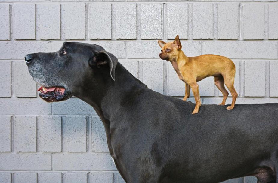 Si les chiens de races miniatures font face... (Photo Thinkstock)