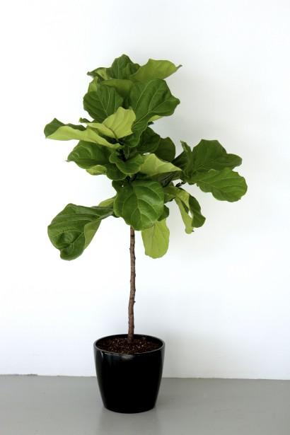 Parmi les plantes «select» proposées, le <i>Ficus lyrata</i>. (Fournie par Folia Design)
