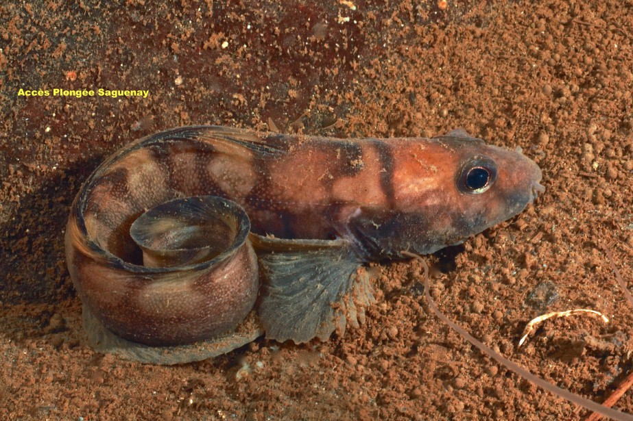 Une lycode (poisson de fond) (Photo courtoisie, Accès plongée Saguenay)