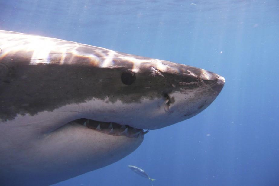 Le grand requin blanc (ci-dessus), le requin à... (photo Kevin Weng, archives REUTERS)