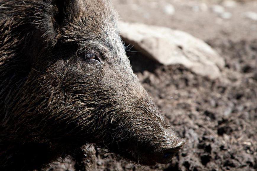 On compterait une cinquantaine de sangliers sauvages dans... (PHOTO ANNE GAUTHIER, ARCHIVES LA PRESSE)